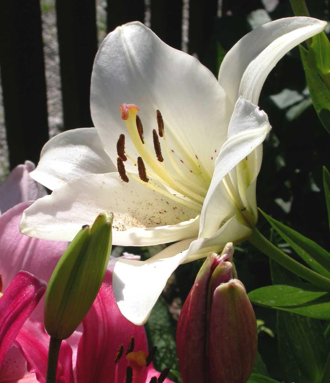 wo bekommt man richtig gute und nicht verpixelte bilder von blumen lilien her bilder lilien. Black Bedroom Furniture Sets. Home Design Ideas
